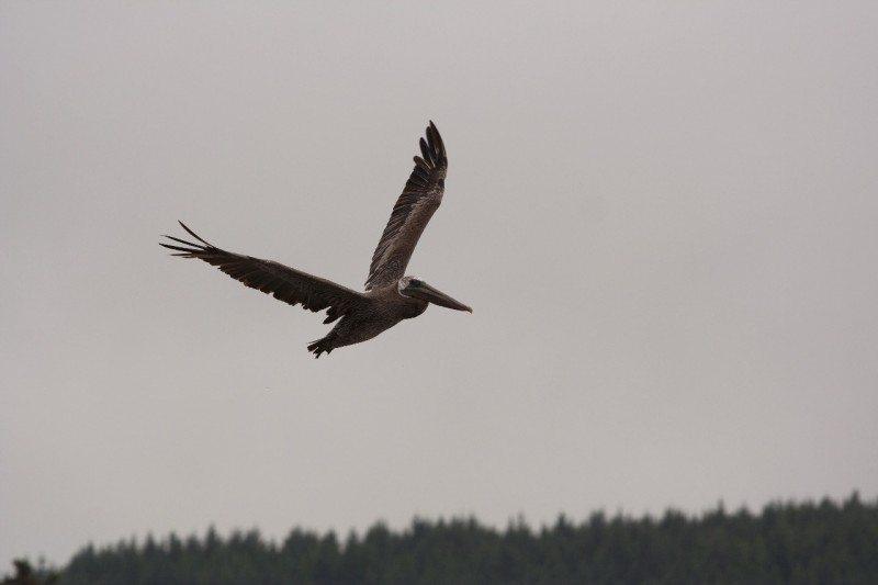 Pelican (original) from Eric Vogt