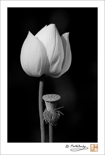 Flowering Lotus with Seed Pod