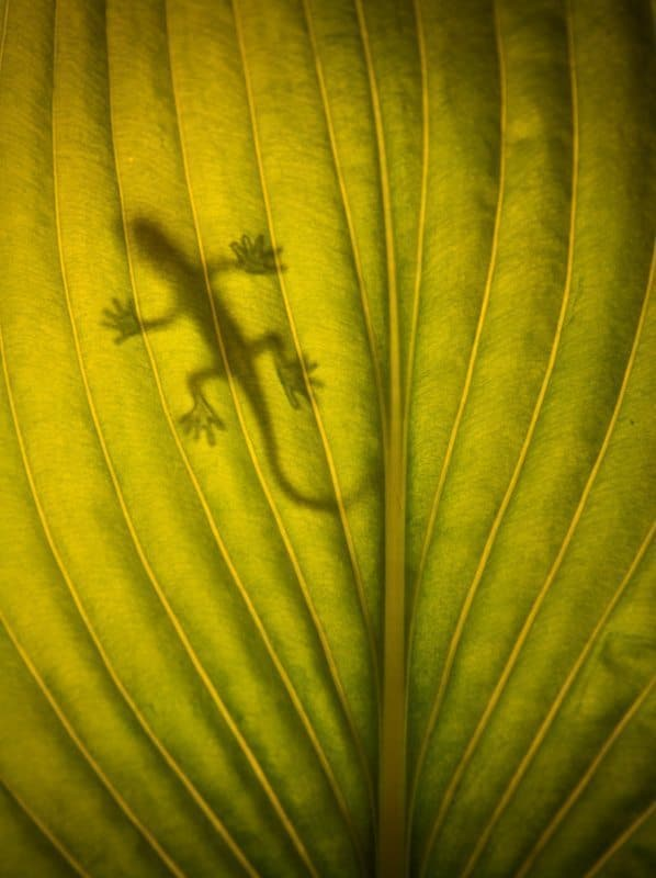 """Gecko on leaf"" by qmcgrath"