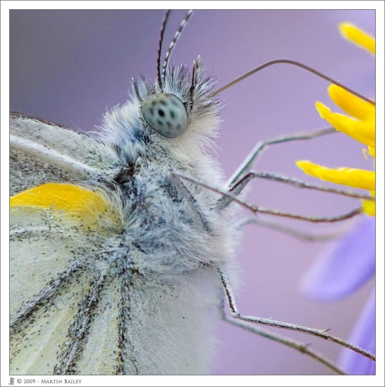 100% Crop of a Cabbage White @ F4.5