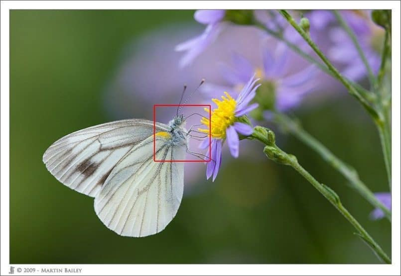 Cabbage White on Shion Daisy @F4.5