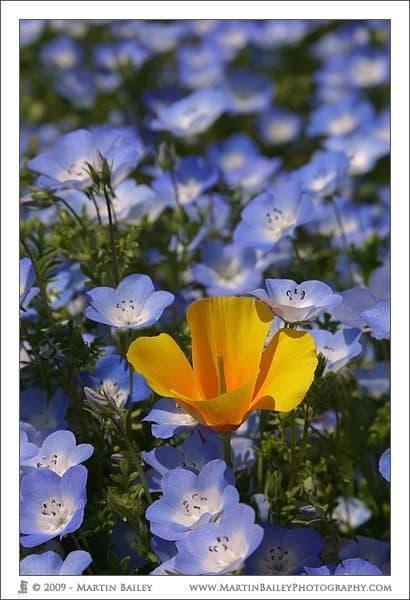 Poppy in Baby Blue Eyes (Nemophila)