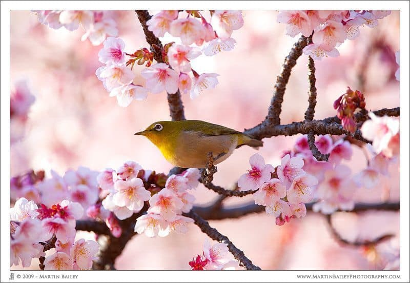 Kanzakura White Eye