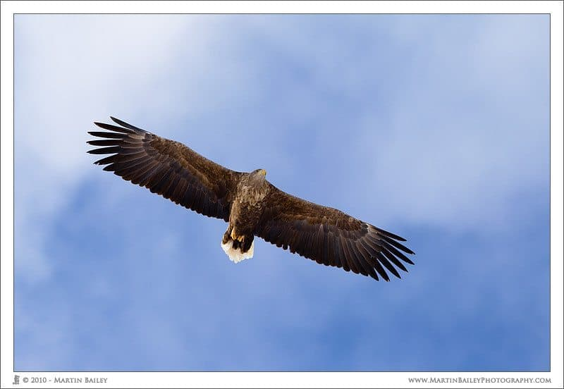 Soaring White Tailed Eagle