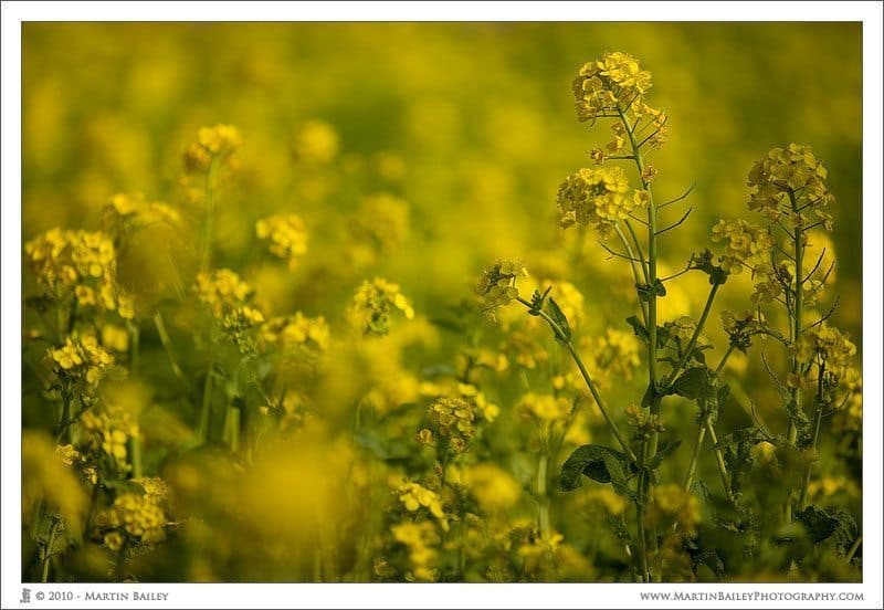 Oilseed Rape with 70-200mm F2.8 Version II
