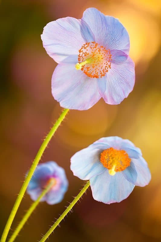 Peekaboo Poppies (© Dennis Brennan)