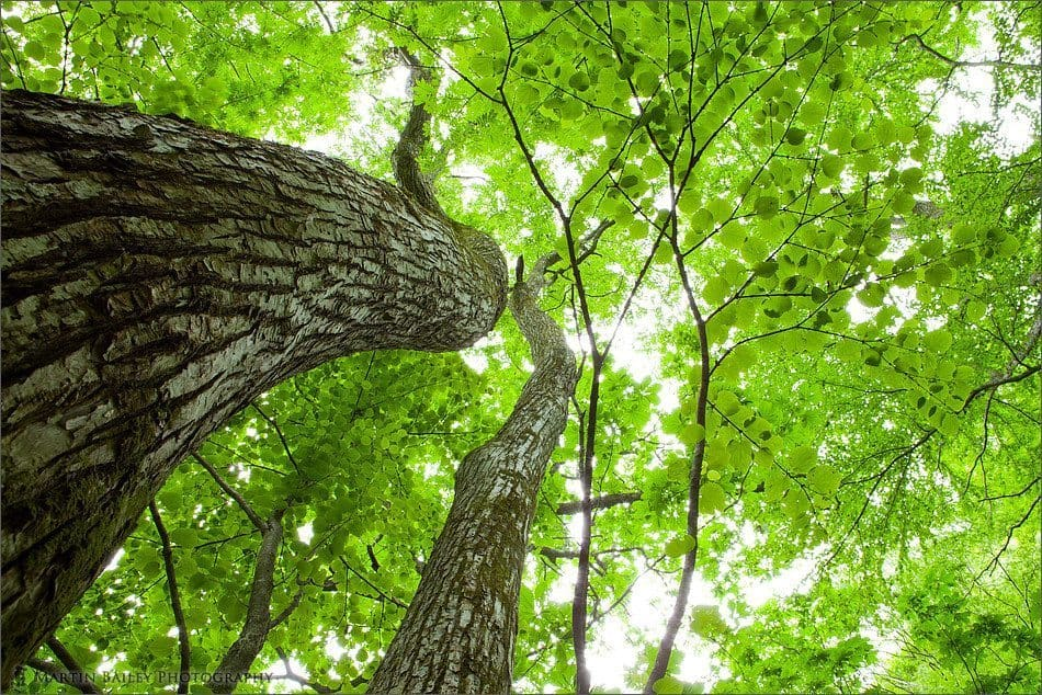 Big Tree and Fresh Leaves