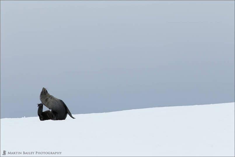 Fur Seal Posing