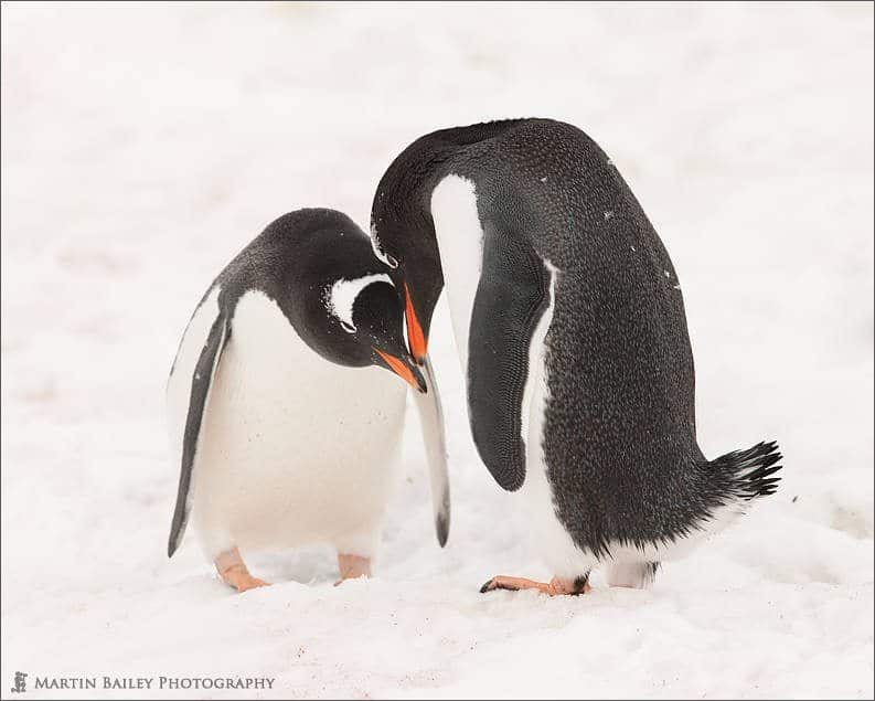 Gentoo Penguins Courting