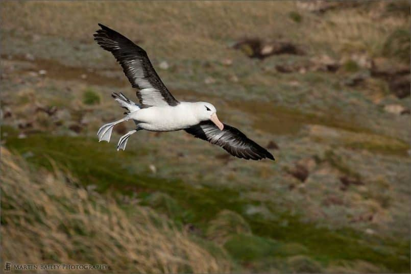 Blackbrowed Albatross in Flight