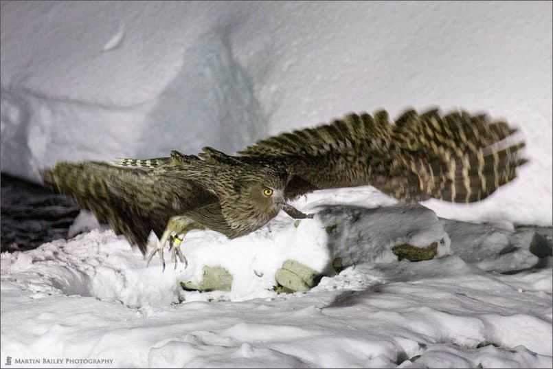 Blakiston's Fish Owl Takes Flight with Fish