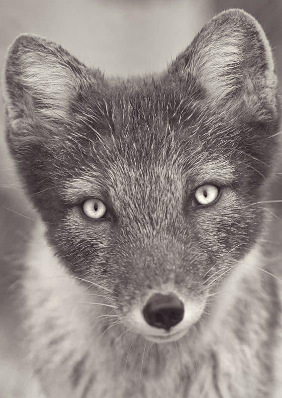 Foxy © Dan Newcomb