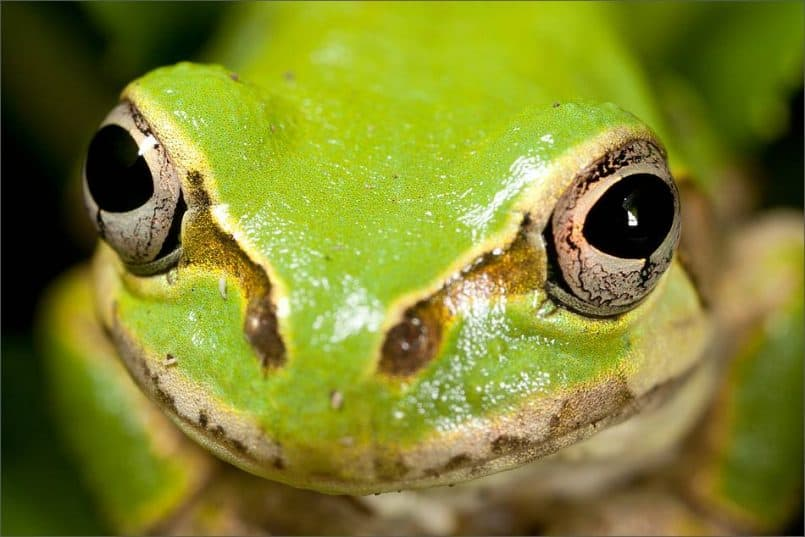 Rain Frog Eyes © Martin Bailey