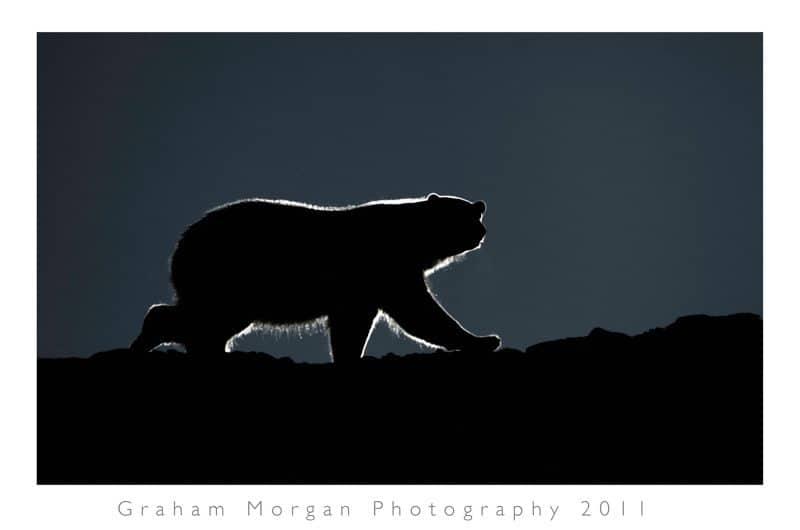 Ice Bear © Graham Morgan