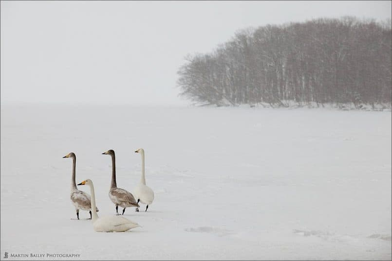 Swan's Attention