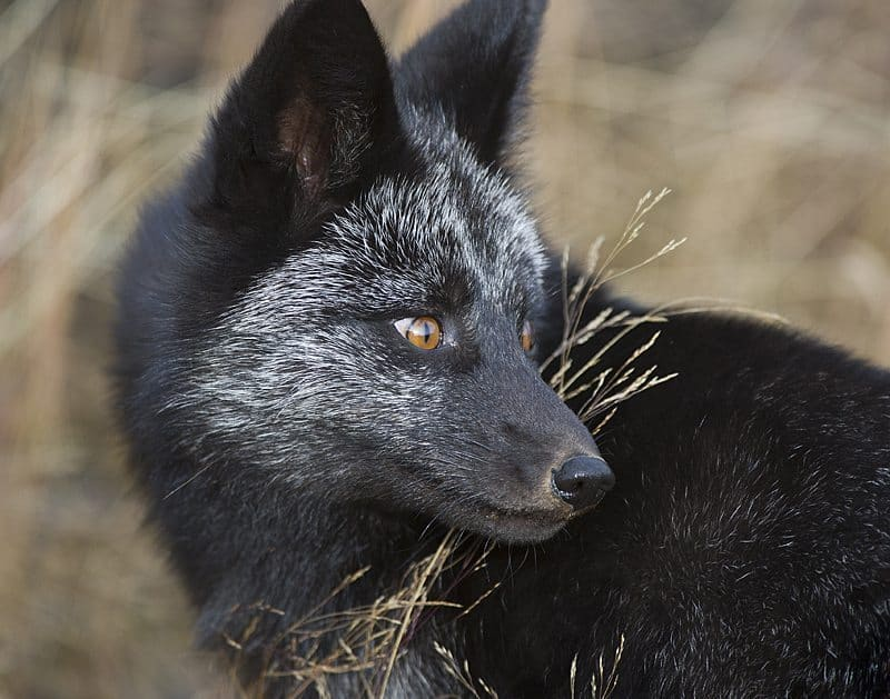 """Black Fox"" © Dan Newcomb"