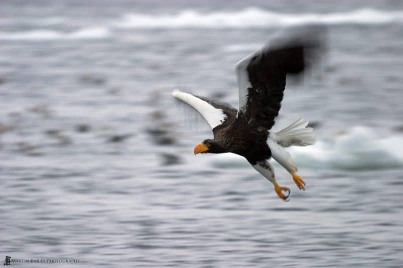 Flying Steller's Sea Eagle