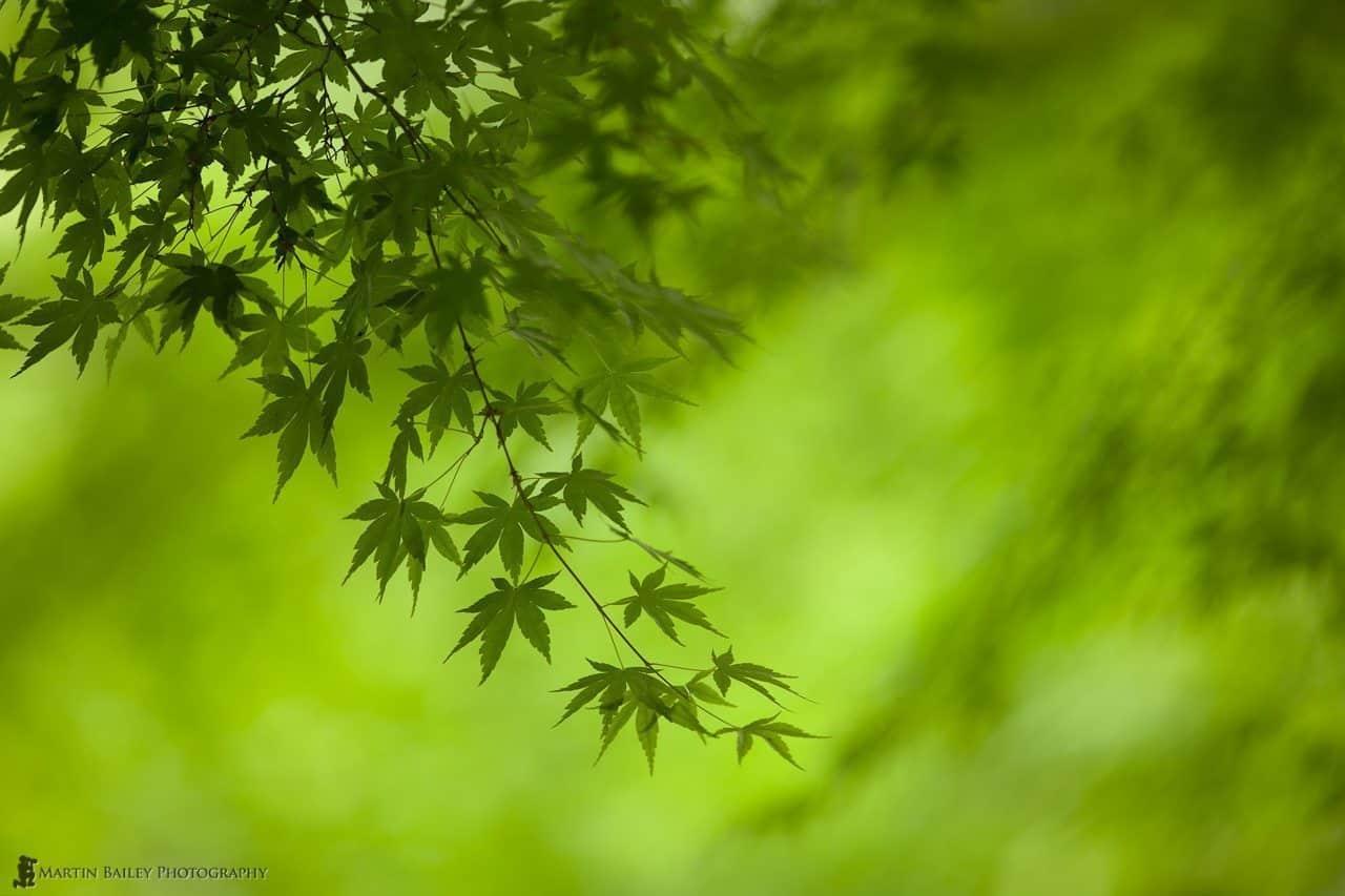 Dark on Light Green Japanese Maple Leaves