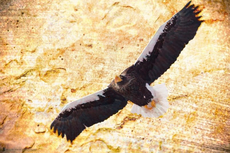 Soaring Steller's Sea Eagle with Textures