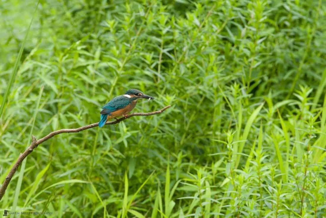 Common Kingfisher - Stationary