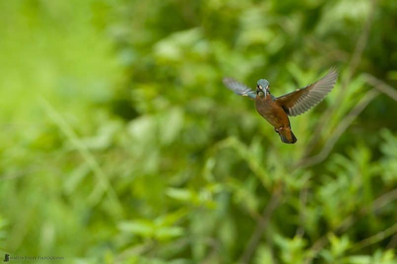 Common Kingfisher Hovering