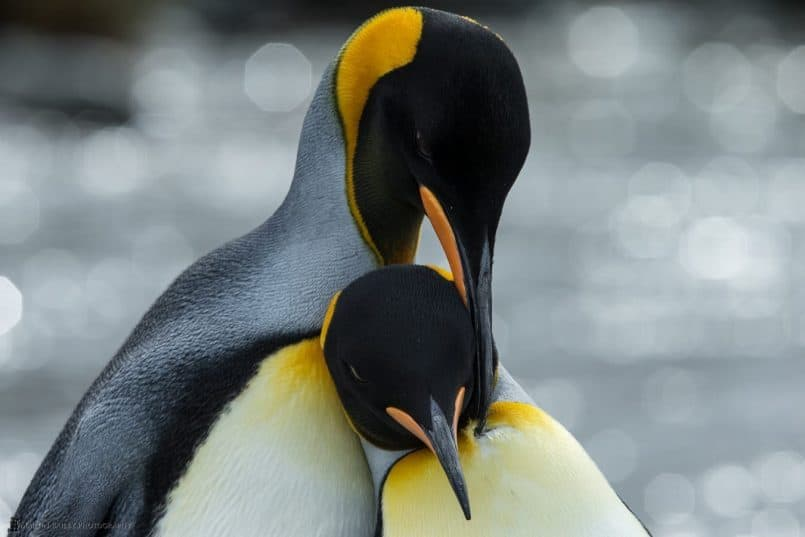 King Penguin Tender Moment