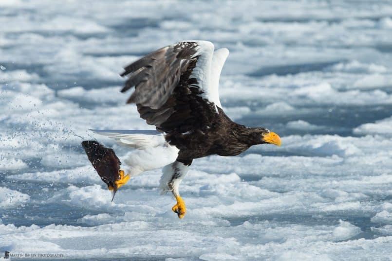 Steller Catches Fish