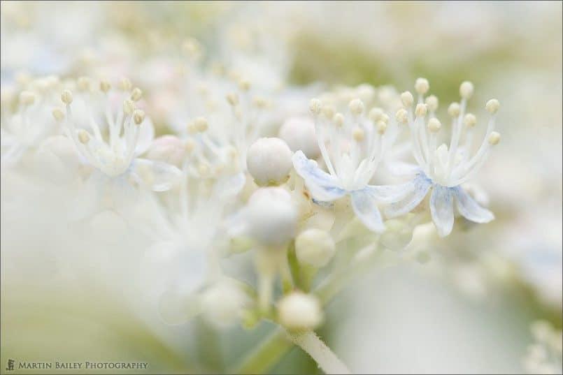 03_White_Hydrangea_8150
