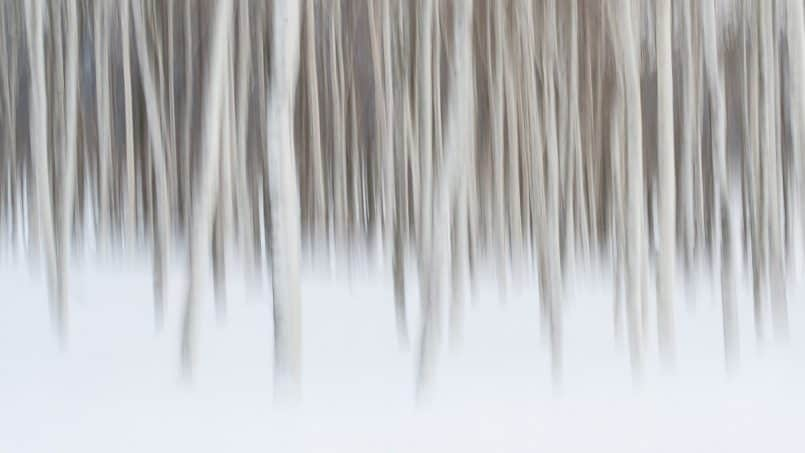 Birch Trees by David duChemin