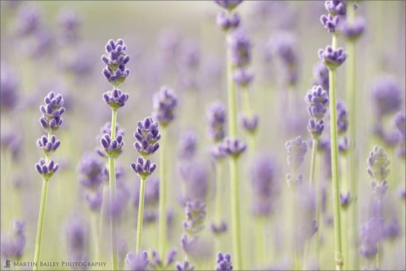 04_Early_Flowering_Lavender_8891