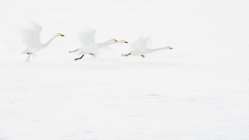 Whooper Swans by David duChemin