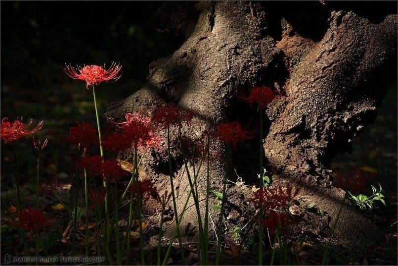 Equinox_Flower_cluster_amaryllis_0287