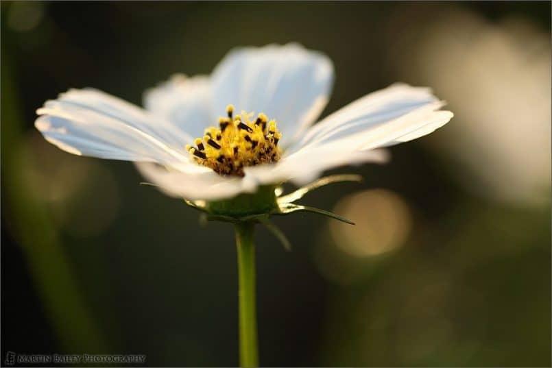 White_Cosmos_0579
