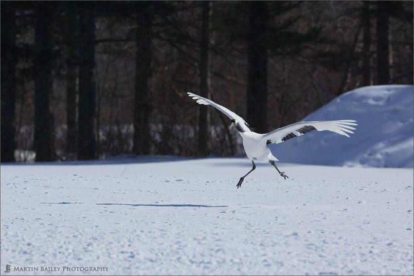 Japanese Cranes 2006