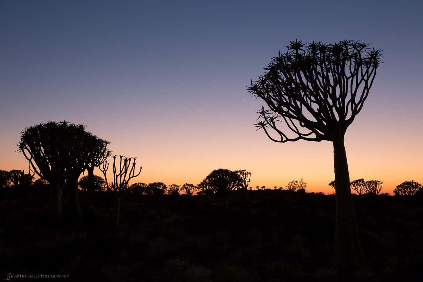 Quiver Tree Sunrise (with Moon)