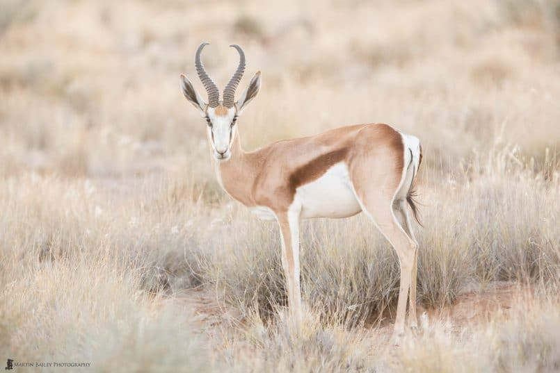 Beautiful Springbok