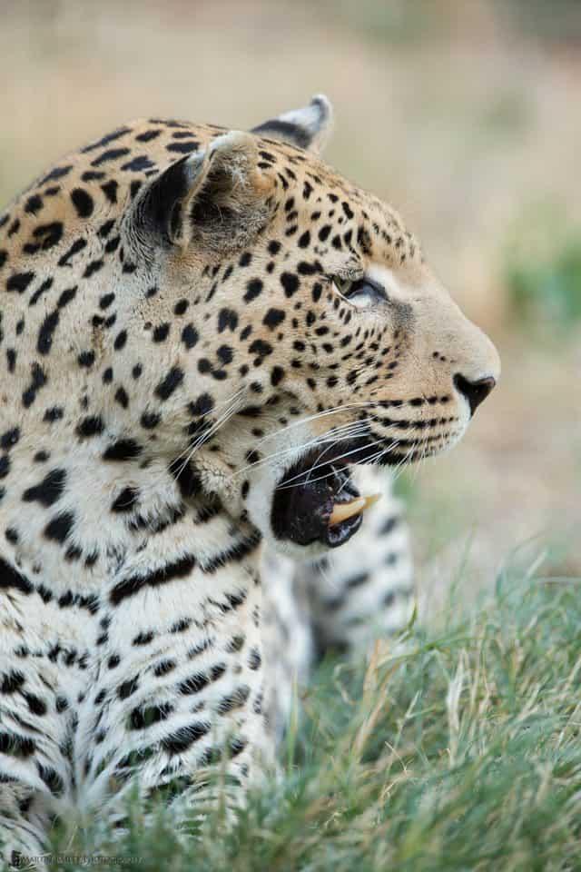 Leopard Profile {C}
