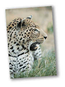 Leopard's Snarl