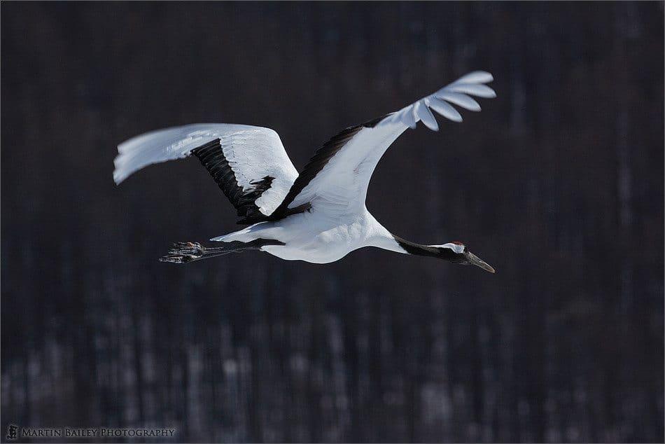 Japanese Cranes 2006 #6
