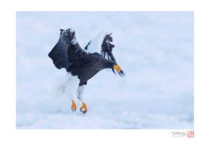 Steller's Sea Eagle at Dawn