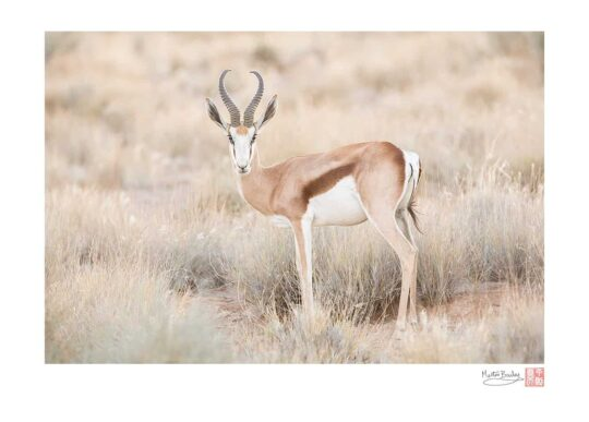 Beautiful Springbok
