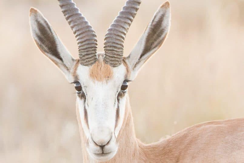 Springbok at 100%