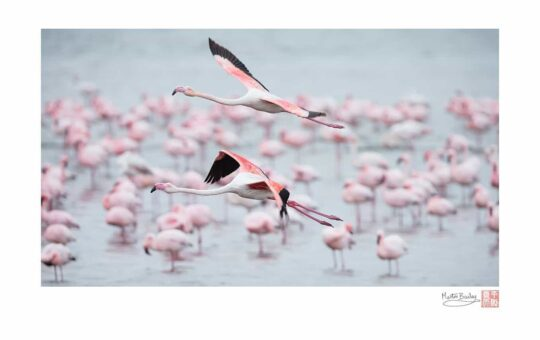 Flamingo Fly-By