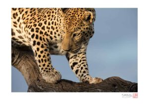 Wahoo the Leopard