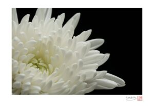 Beckoning (White Chrysanthemum)
