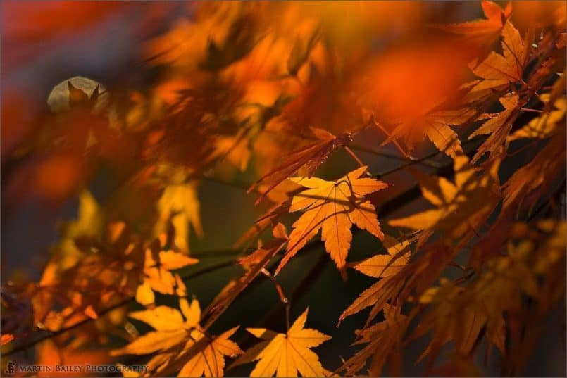Blurred Foreground Maple Leaves