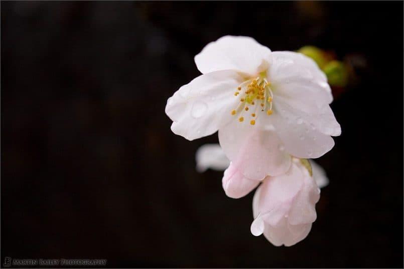 Cherry Blossom 2007 #3