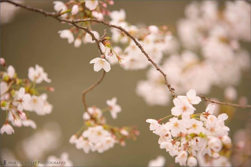 Cherry Blossom 2007 #9