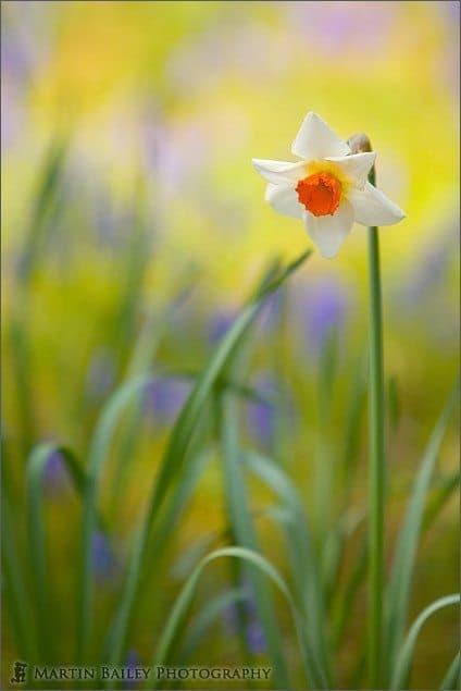 Watercolour Daffodil - Hitachi Park #18