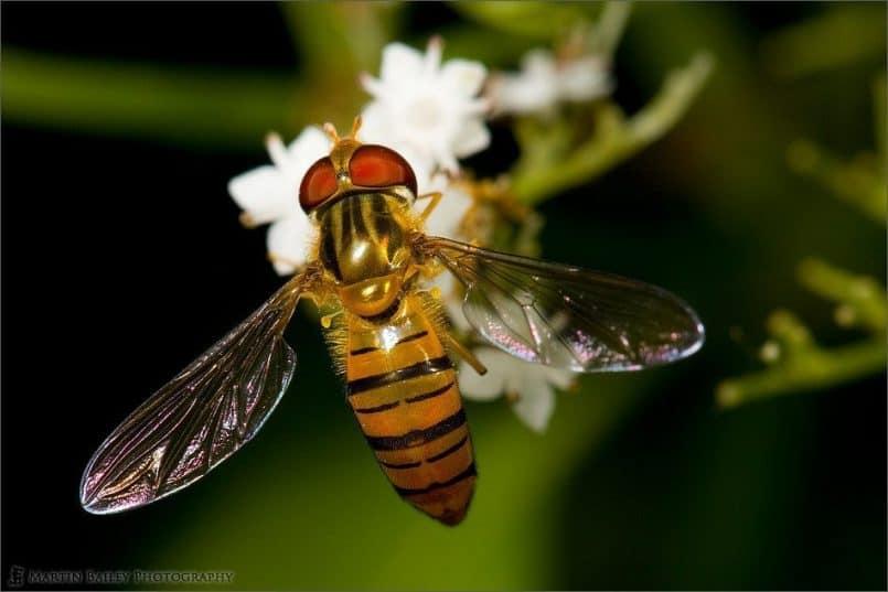 Shiny Hoverfly